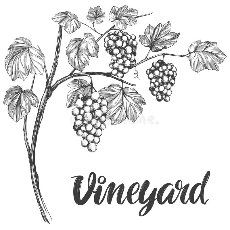 Grape vine, grape, calligraphy text hand drawn vector illustration realistic sketch.  stock illustration
