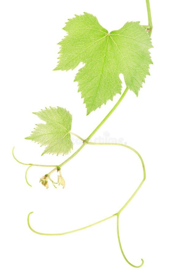 Grape vine leaves royalty free stock photos
