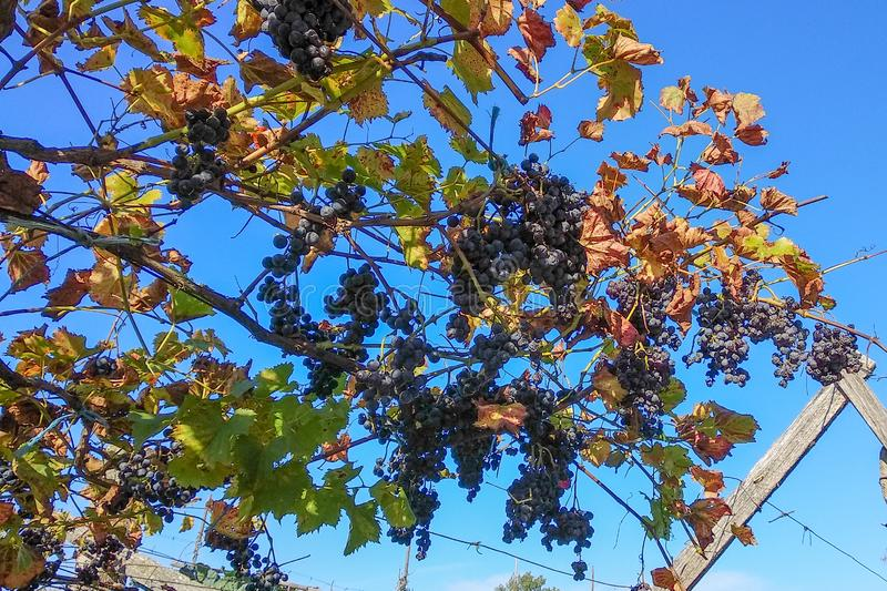 Grape vine leaves turning brown and bunches of dried grapes hanging in Autumn stock image