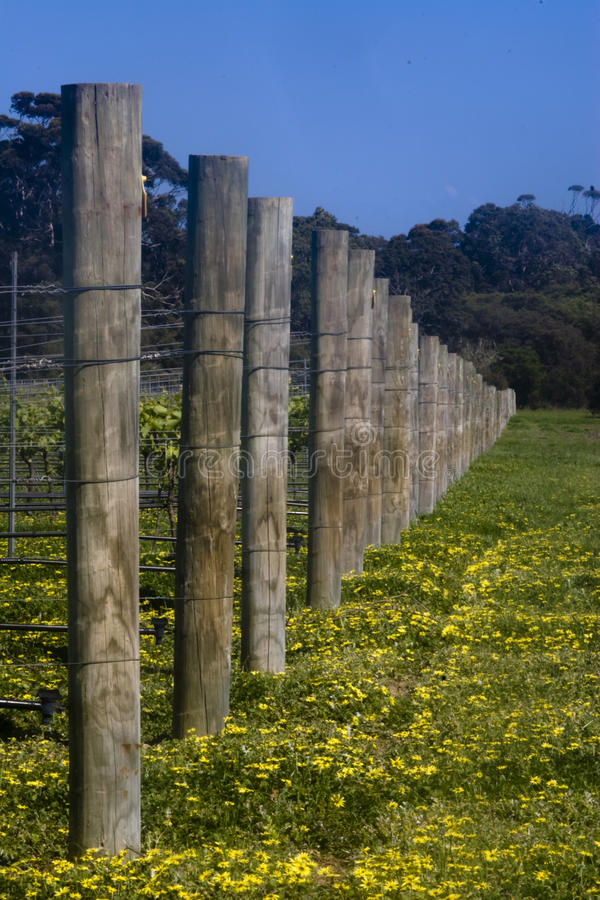 Grape vine posts. Vertical landscape of vineyard posts and yelow flowers with a deep blue skies royalty free stock photo