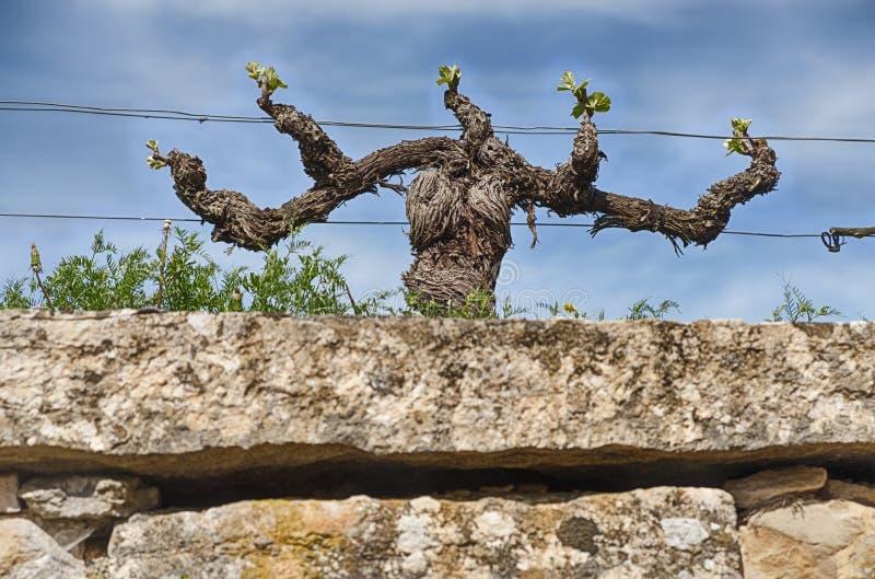 Grape Vine In Spring royalty free stock image