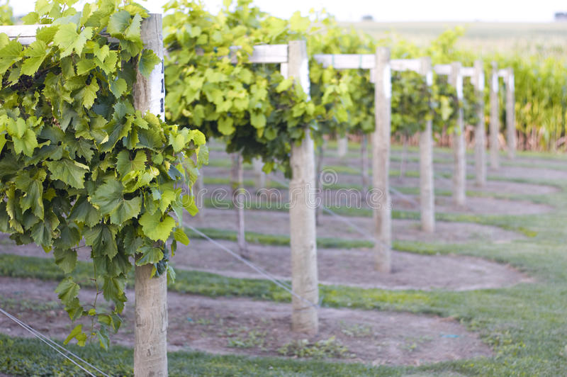 Download Grape Vines stock image. Image of crops, supports, green - 11234203