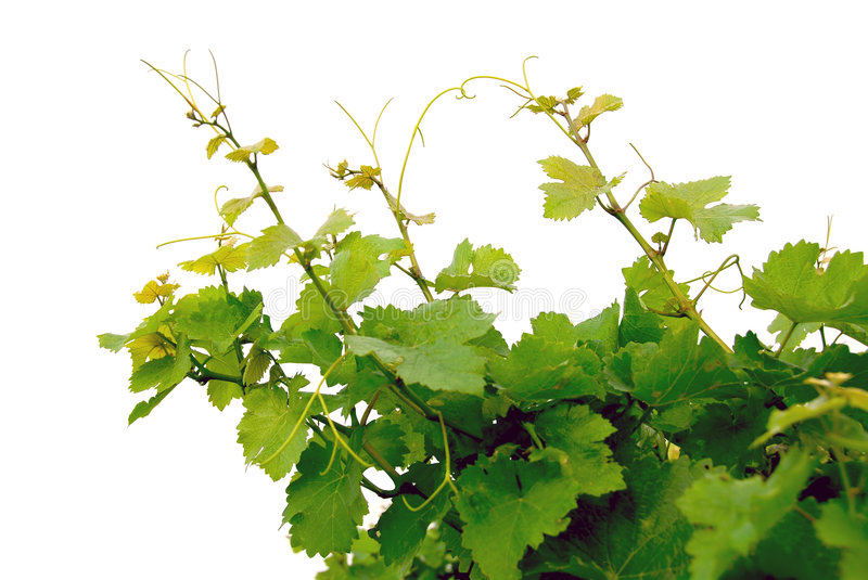 Download Grape vines stock image. Image of detail, countryside - 1238383