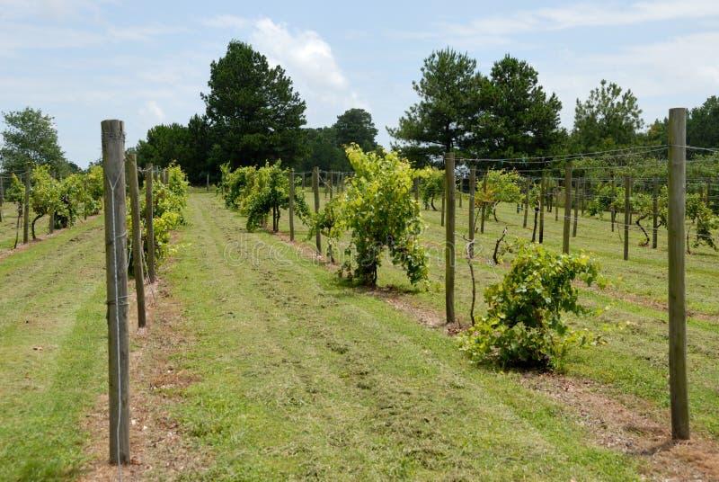 Grape Vines Stock Photo