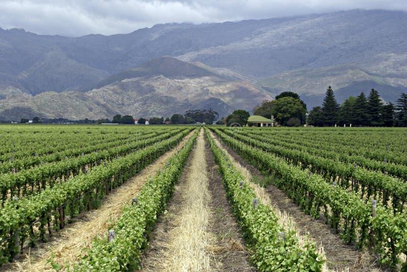 Grape vines royalty free stock photo