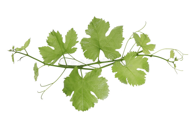 Grape vines. Grape leaf on a white background royalty free stock images