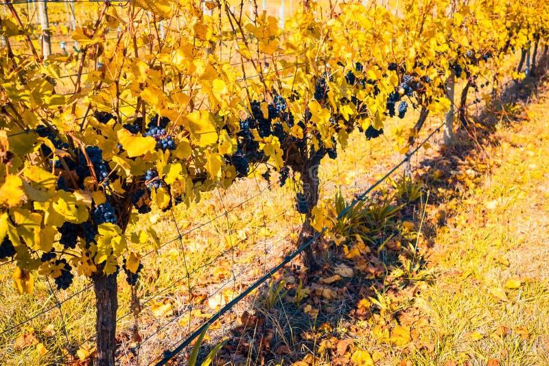 Grape vines during autumn season royalty free stock image