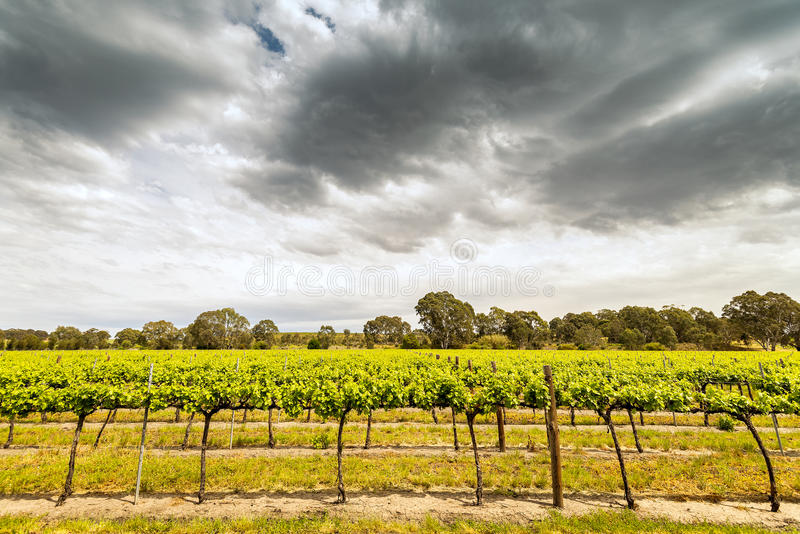Grape vines in Barossa. Valley, South Australia stock images