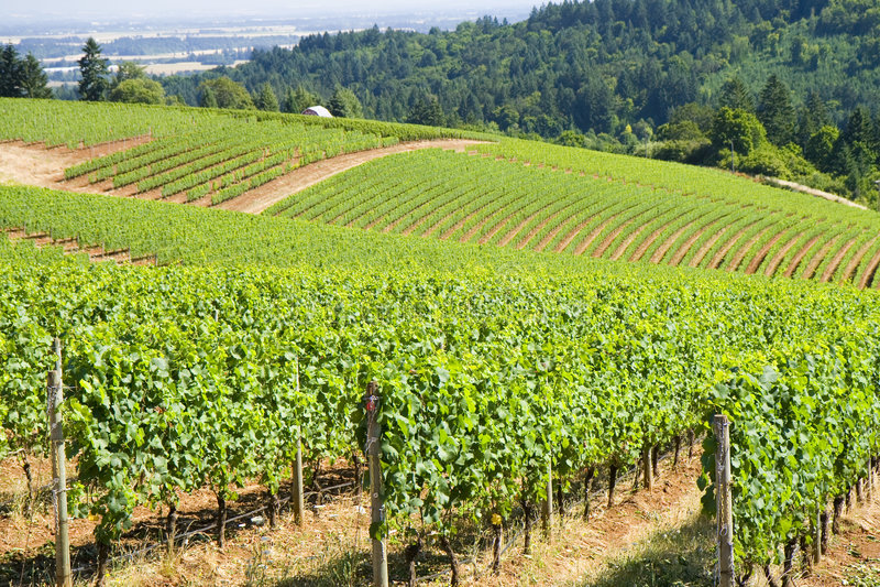 Grape Vines Dundee Hills stock photos