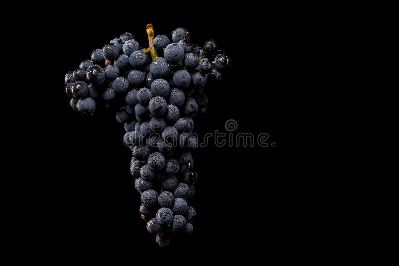 Grape vines isolated , water drops ,macro shot , black backgroun. D , ideal grapes bunch royalty free stock image
