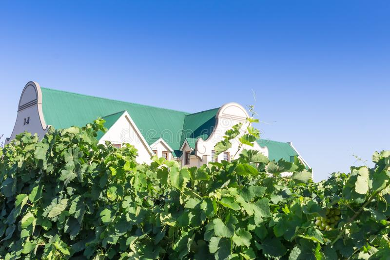 Grape vines near Paarl with Cape Dutch style house close up in Western Cape South Africa - Image stock photo