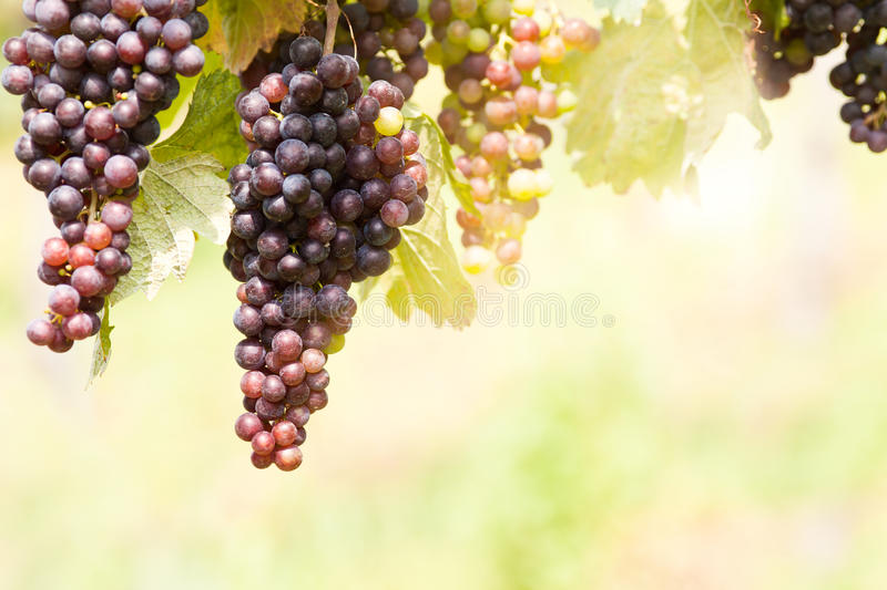 Grape vines. With ripening grapes stock images