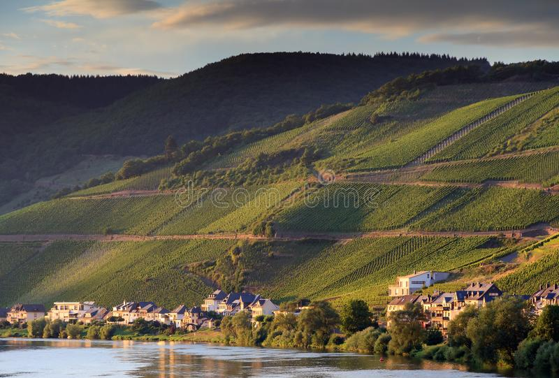 Grape vines at the river Moselle. Beautiful afternoon view of the river Moselle at the small wine growing town Zell an der Mosel with hills full of grape vines stock photos