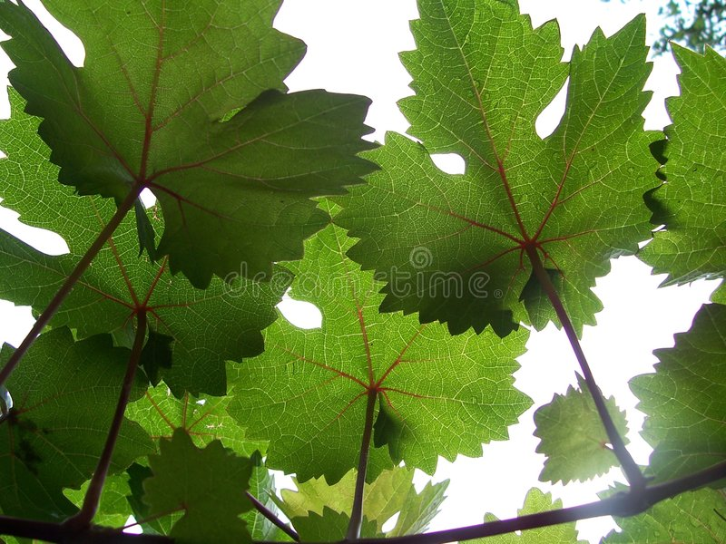 Download Grape Vines And Sunshine Stock Photography - Image: 1059582