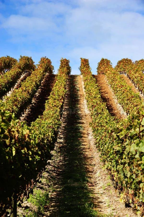 Grape Vines At Vineyard Stock Photos