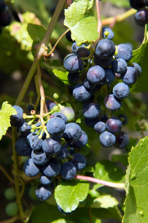 Grape vines in a vineyard. Blue wine grapes close up. The detailed look at vineyard with bunches of ripe red wine grapes royalty free stock photography