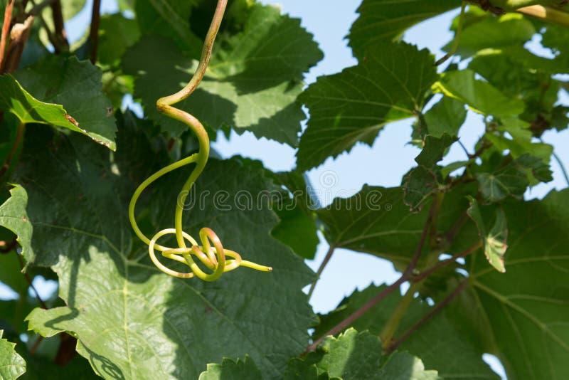 Grape vines. In the vineyards of the Burgundy region, France stock photo