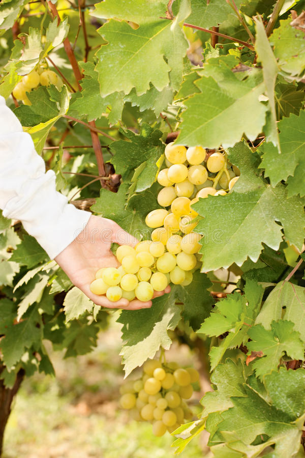 Download Grape in a vineyard stock photo. Image of calorie, hand - 29210122