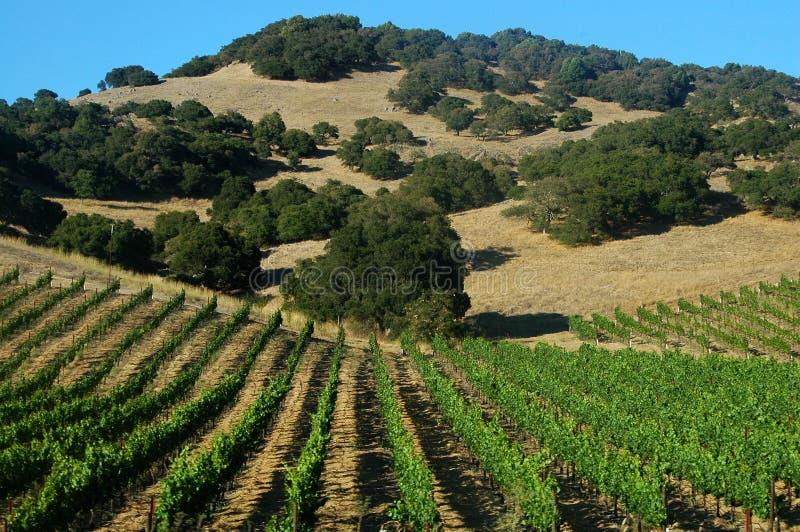 Download Grape Vineyards stock image. Image of blue, planting, plowed - 186505