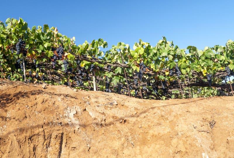 Grape vineyards royalty free stock photography