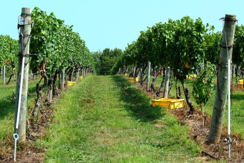 Grape vinyard row. Row of grapes at a vinyard stock photos