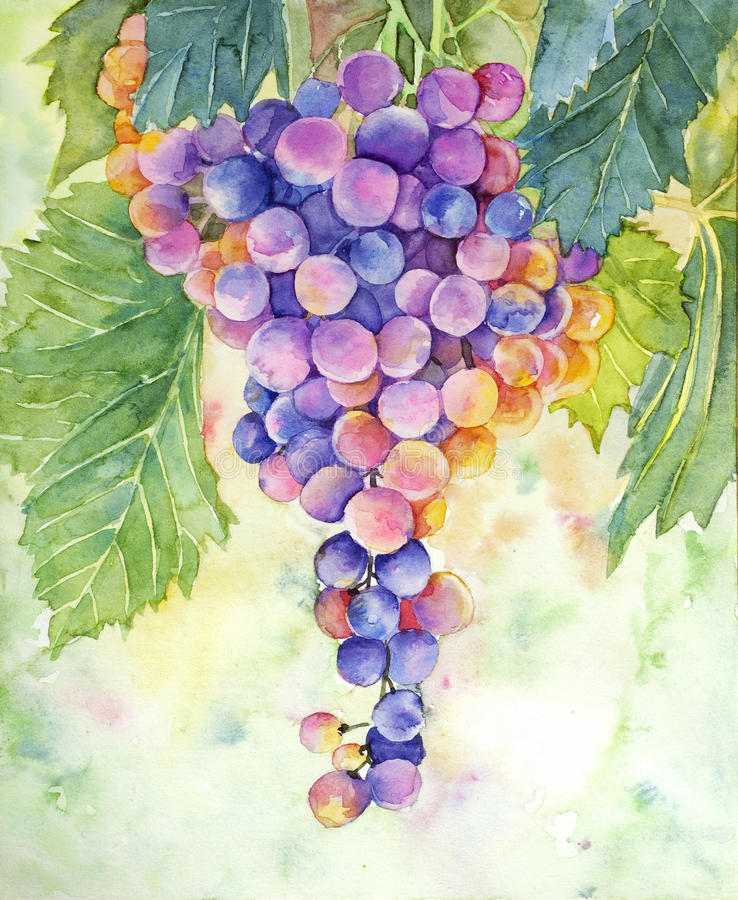 Grape watercolor stock photo