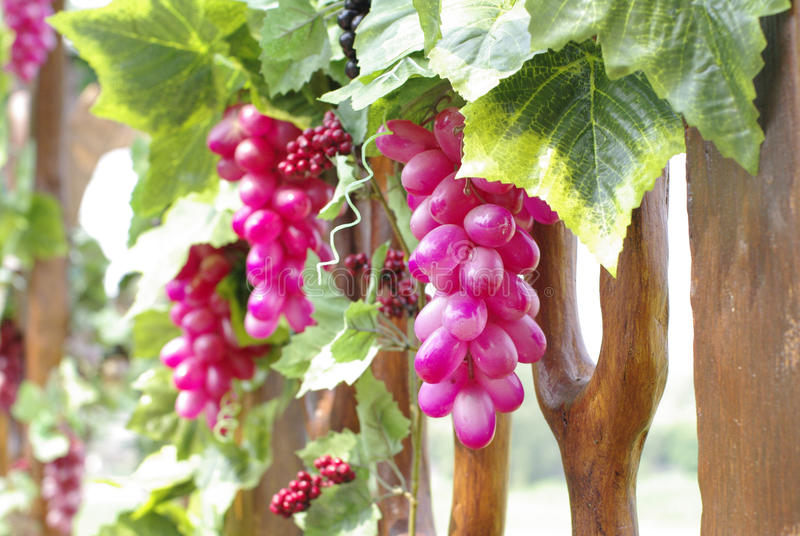 Grapevine with wine grape cluster close up stock images