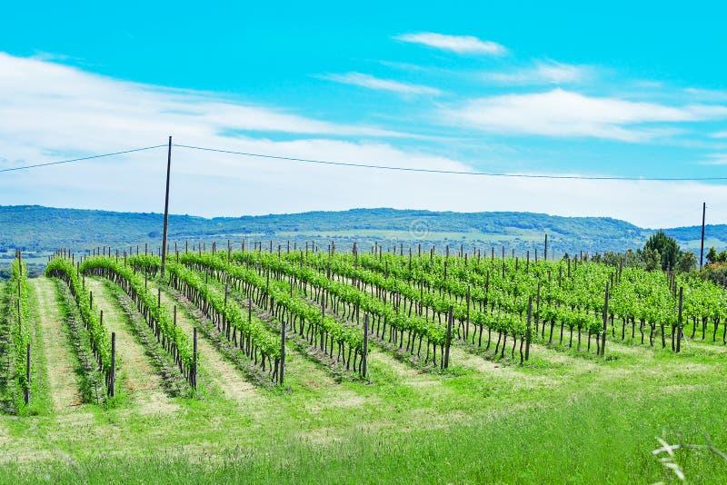 Grape yard under a blue sky stock image