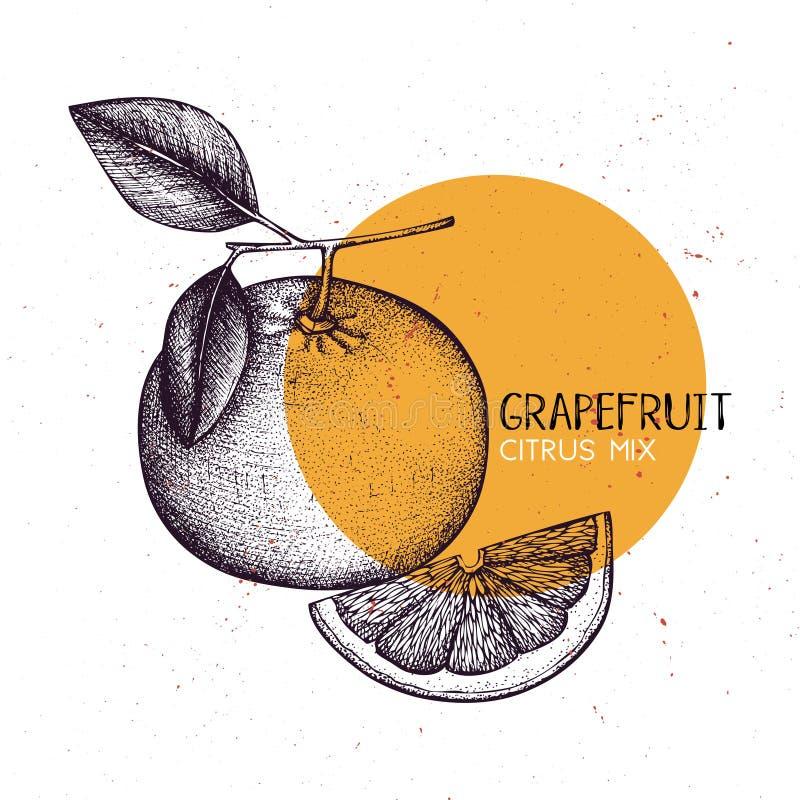 Grapefruit vintage design template. Botanical illustration. Engraved pomelo. Vector drawing. Citrus fruit. stock illustration