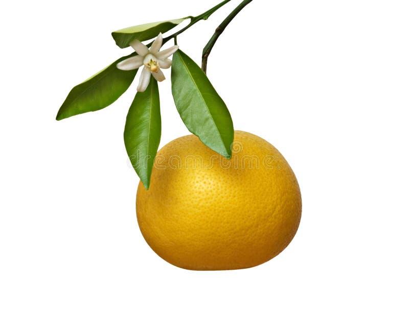 Grapefruit en bloem royalty-vrije stock fotografie