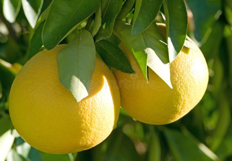 Grapefruit op de Boom royalty-vrije stock afbeeldingen