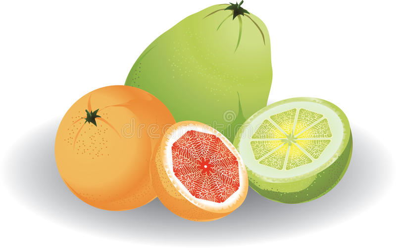 Grapefruit & pomelo. Whole and sliced. Vector illustration royalty free illustration