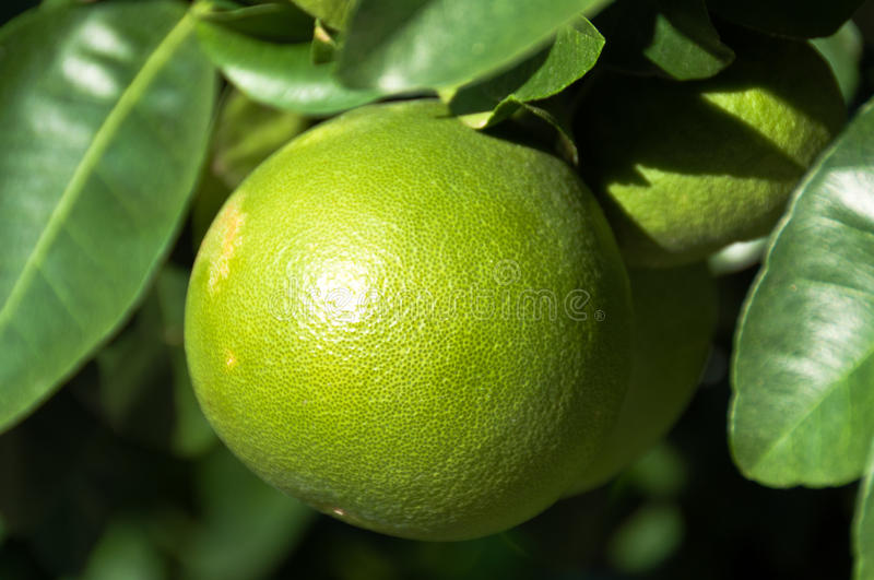 Download Grapefruit on the tree stock photo. Image of foliage - 16537746
