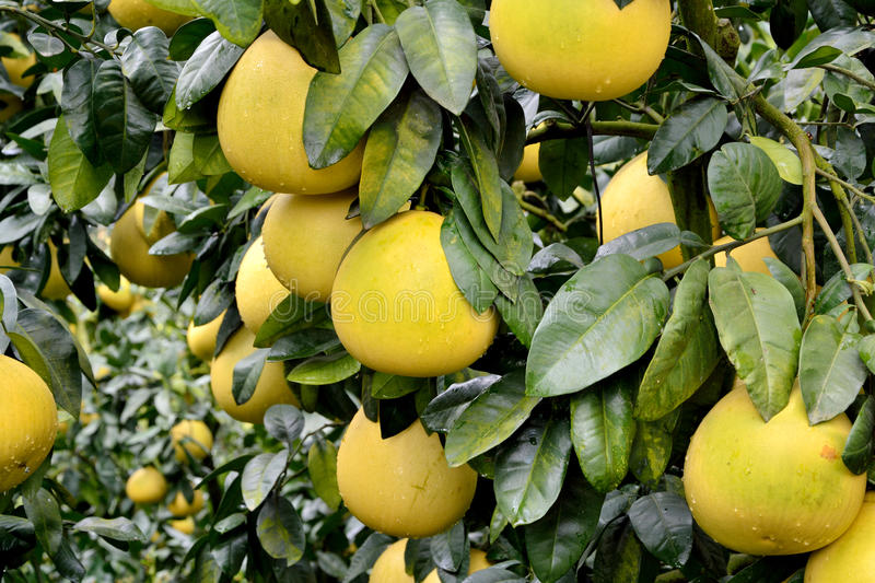 Download Grapefruit on trees stock photo. Image of yellow, rich - 35432764