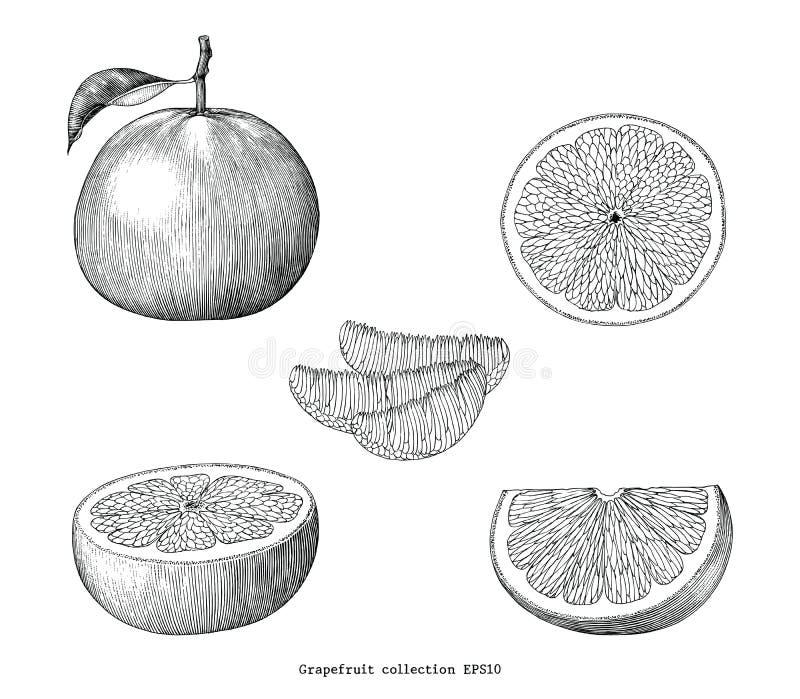 Grapefruitowa inkasowa ręka remisu rocznika klamerki sztuka odizolowywająca na whi royalty ilustracja