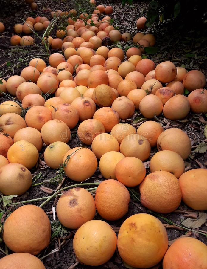 Grapefruits on the ground in citrus orchard. Fallen overripe last fruits. Laying on the ground. Agriculture and harvesting royalty free stock photos