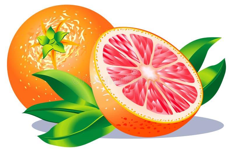 grapefrukt royaltyfri illustrationer