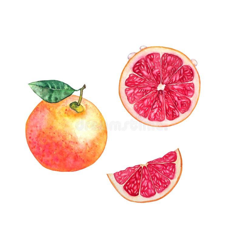 grapefrukt vektor illustrationer