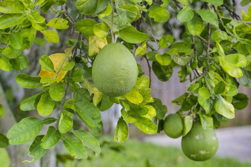 Grapefrukter som växer på ett träd fotografering för bildbyråer
