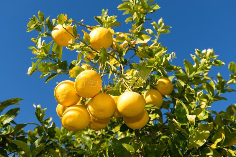Grapefruktträd med klungor av grapefrukter fotografering för bildbyråer