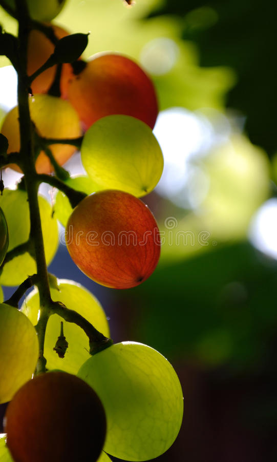 Grapes; royalty free stock photo