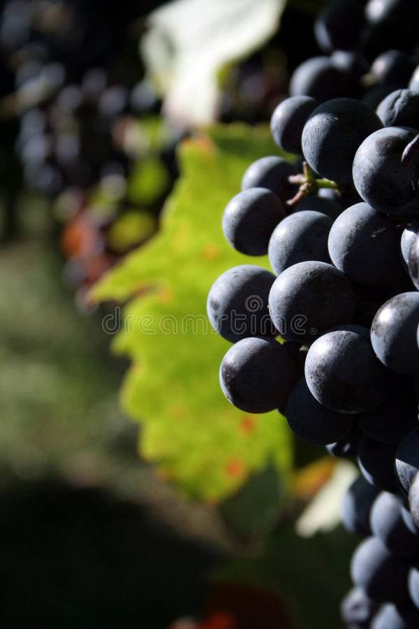 Download Grapes stock photo. Image of plant, blue, dark, berry - 1415088