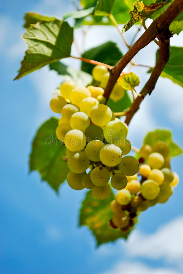 Download Grapes stock image. Image of leaves, branch, blue, cluster - 14854695
