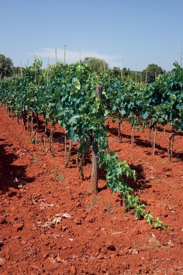 Download Grapes stock image. Image of savignon, adriatic, ripening - 15878751