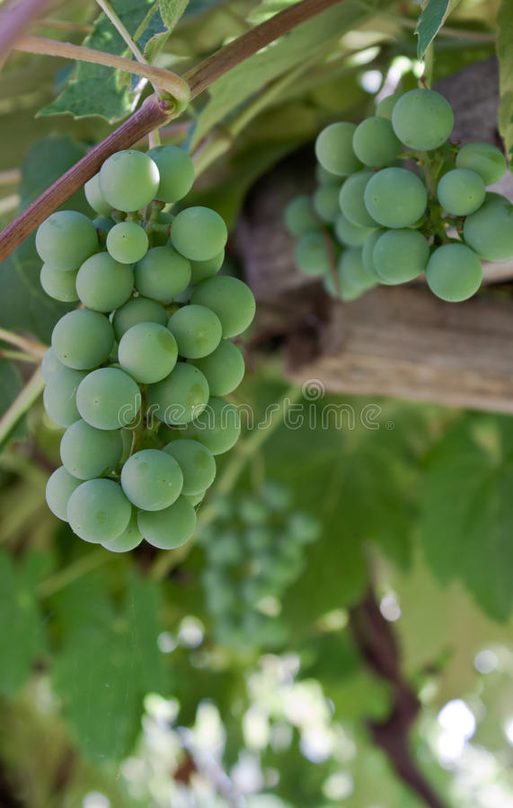 Grapes. Close up of organic grown grapes in southern idaho stock photography
