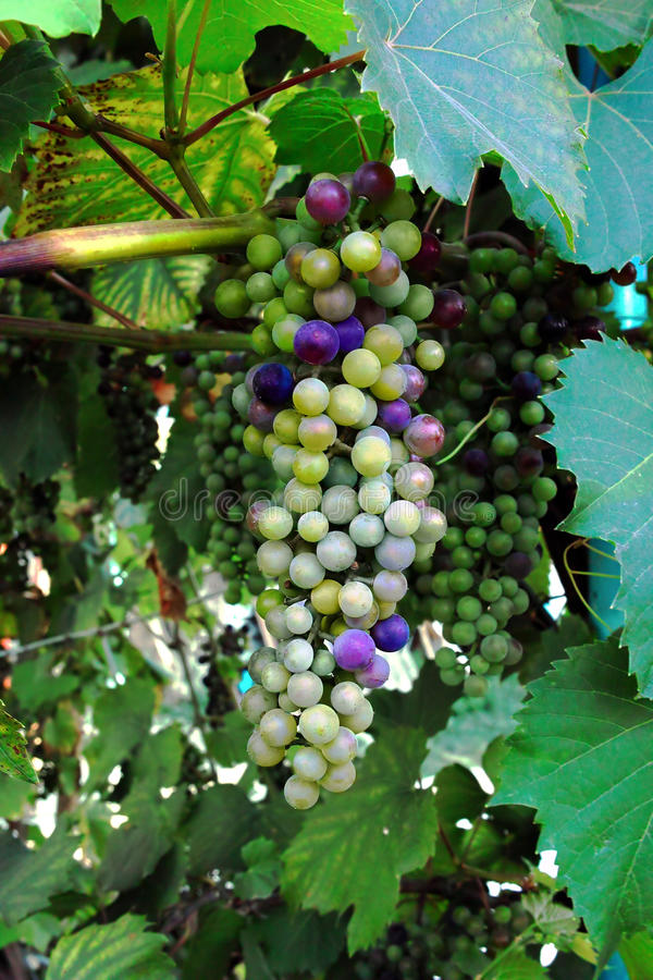 Download Grapes stock photo. Image of ripe, growth, grapes, raisins - 24433514