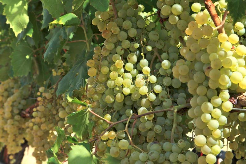 Download Grapes stock photo. Image of growing, copyspace, farm - 26022286