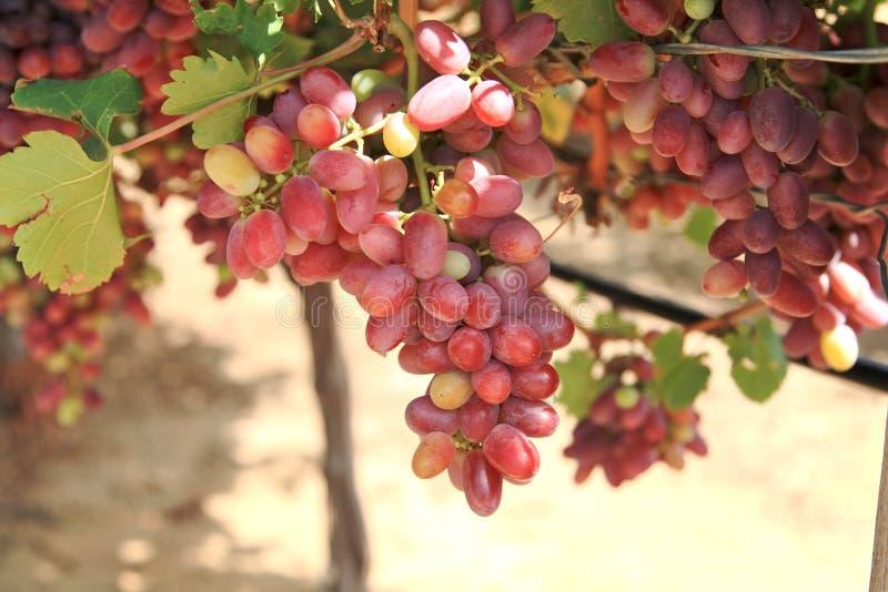 Download Grapes stock photo. Image of copyspace, fresh, bundle - 26022292