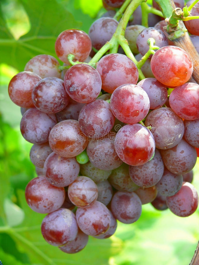 Download Grapes stock image. Image of wine, green, taste, food - 26473849