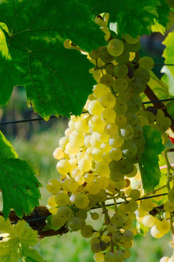 Download Grapes stock photo. Image of grapes, outdoors, leaf, white - 26898032